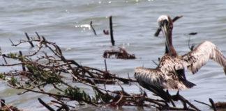 Environmental Impact of Deepwater Horizon Oil Spill